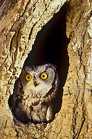 Eastern Screech Owl or Eastern Screech-Owl (Megascops asio) in tree cavity.
