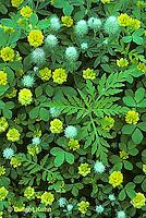 PZ01-001b  Hop Clover (yellow) - Trifolium agrarium AND Rabbit's Foot Clover (gray) - Trifolium arvense