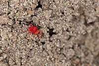 Rote Samtmilbe, Samtmilbe, Sammetmilbe, Trombidium spec., Trombidium cf. holosericeum, Velvet mite, Red mite, Velvet mites, Landmilben, Pflanzenmilben, Trombidiidae