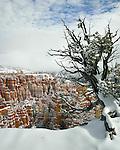 Juniper tree in snow, Bryce Canyon National Park, Utah, USA.