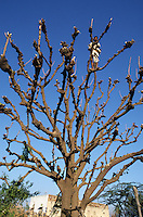 INDIA Rajasthan, villager use during drought season leaves and branches of neem tree as fodder for their cattle and firewoods / INDIEN Rajasthan, Dorfbewohner nutzen die Aeste und Blaetter eines Niem Baum in der Duerre Periode als Futter fuer ihre Tiere und Feuerholz