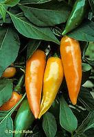 HS41-217x  Pepper - late pepper, Bulgarian Yellow variety