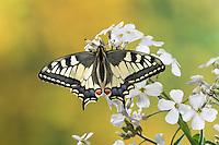 Schwalbenschwanz, Papilio machaon, Old World swallowtail, common yellow swallowtail, swallow-tail, Le Machaon, Grand porte-queue