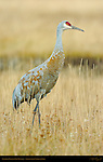 Sandhill Crane in Fall Plumage, Yellowstone National Park, Wyoming