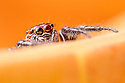 Jumping Spider {Salticidae} hunting amongst vegetation. San Jose, Costa Rica. May.