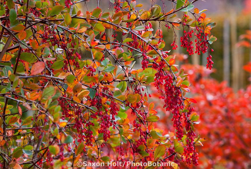 Red berries of Berberis (Barberry) shrub in autumn, Gary Ratway garden