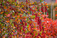 Red berries of Berberis (Barberry) shrub in autumn, Gary Ratway garden