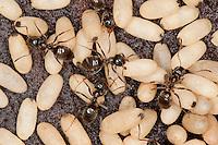 Wegameise, Nest mit Eiern, Kokon, Lasius s.str., Lasius spec., Black Ant