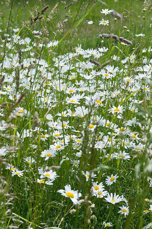 Oxeye daisies (Leucanthemum vulgare) in meadow grass, early June.