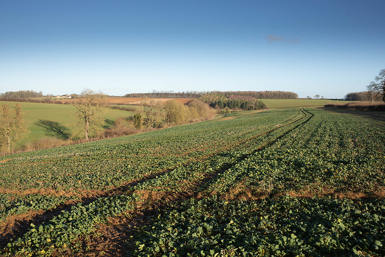 17/12/2020 Field of Oilseed rape in Rutland<br /> ©Tim Scrivener Photographer 07850 303986<br />      ....Covering Agriculture In The UK....