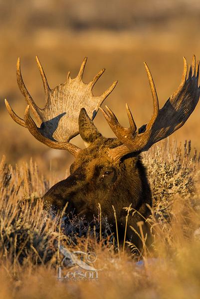 Bull moose resting among sage brush.  Grand Teton National Park, Wyoming.   Old snow.  Winter.