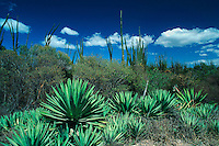 Dry Forest with agave plants, Madagascar, Africa