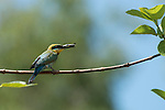 Rainbow Bee-eater (Merops ornatus) with freshly caught insect ready to feed their chicks in their nest found in a hole dug out in the sand on the ground.
