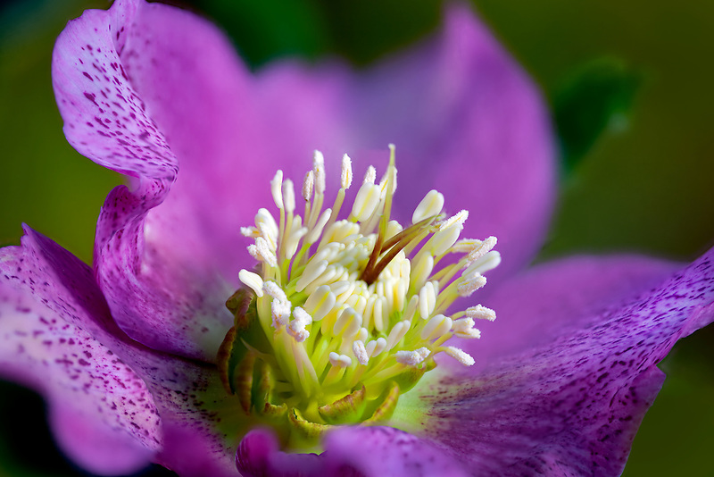 Close up of Lady Hellebore, Pink Lady.