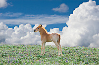 Wild Horse colt in wildflowers and clouds.