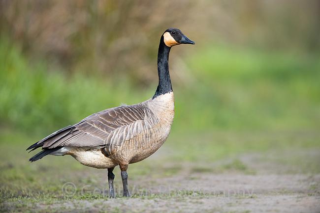 Canada Goose (Branta canadensis). Oregon. April.