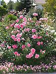 The McCartney Rose bush, Rosa hybrid tea