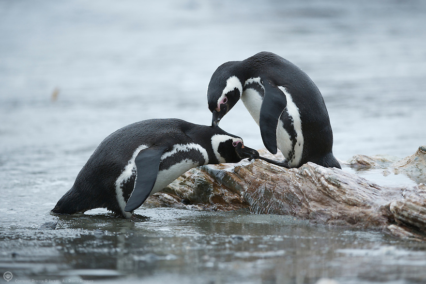 A pair of Magellanic penguins preen each other on Diego Ramirez Island.