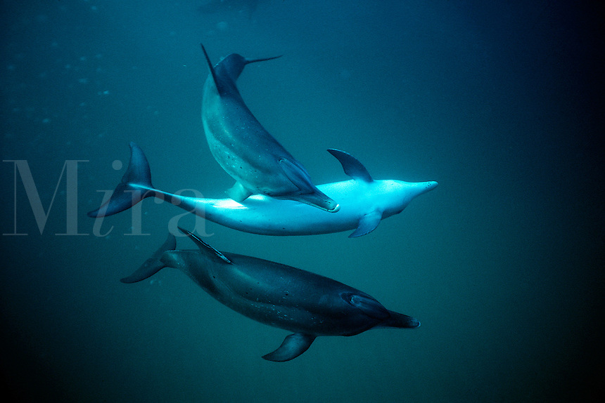 Atlantic spotted dolphin, Stenella attenuata, are found in the tropical Atlantic. Grand Bahamas Bank, Bahamas