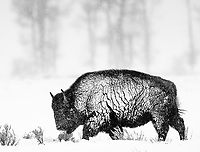 Though far from my favorite animal, the American bison provides some of the best photo opportunities during winter visits to Yellowstone, and gives me plenty of chances to experiment in monochrome.