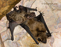 MA20-721z  Big Brown Bat 6 week and 4 week old young,  Eptesicus fuscus