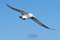 Shy Albatross in Flight Off Tasmania