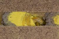 Rote Mauerbiene, Entwicklung, 4. einige Tage alte Larve, Larven, Made, Maden in Brutkammer mit Pollen und Trennwand aus Lehm. Entwicklungsreihe Entwicklungsstadien, Brutröhre, Niströhre im Querschnitt, Brutkammer, Brutkammern, Rostrote Mauerbiene, Mauerbiene, Mauer-Biene, Nest, Neströhre, Niströhren, Wildbienen-Nisthilfe, Wildbienennisthilfe, Osmia bicornis, Osmia rufa, red mason bee, mason bee, L'osmie rousse, Mauerbienen, mason bees