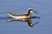 Wilson's Phalarope swimming on a marsh