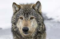 Timber Wolf (Canis lupus lycaon), adult, close-up of head, Montana, USA, America, North America