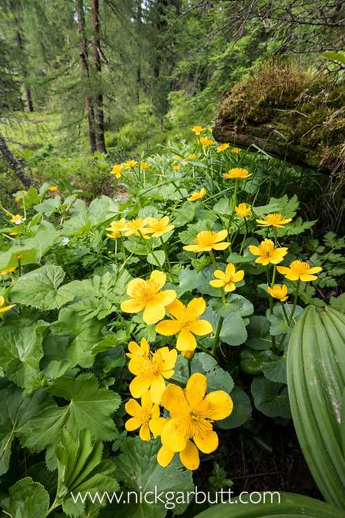 Marsh Marigolds (Caltha palustris) in flower. Nordtirol, Tirol, Austrian Alps, Austria, 2300 metres, July.