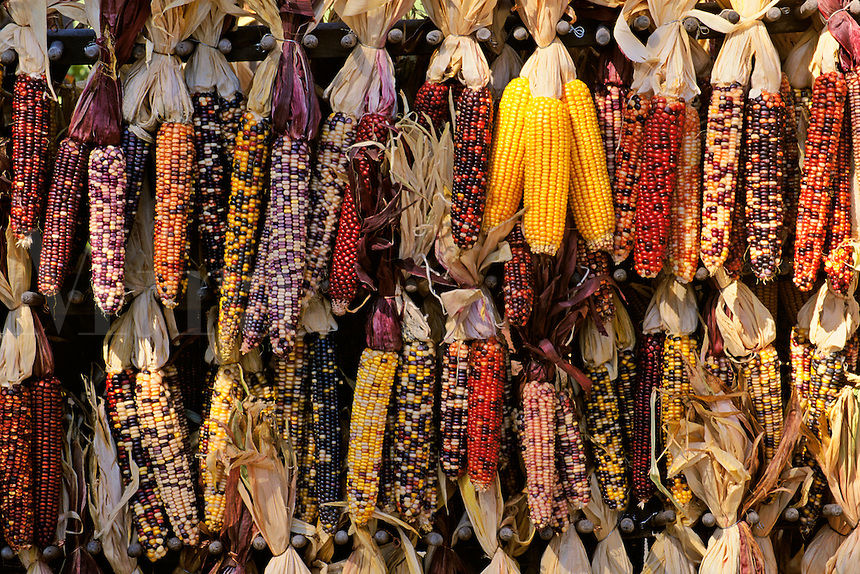 Massachussets, Old Deerfield; Fall Harvest Multi Colored Indian Corn At Roadside Stan
