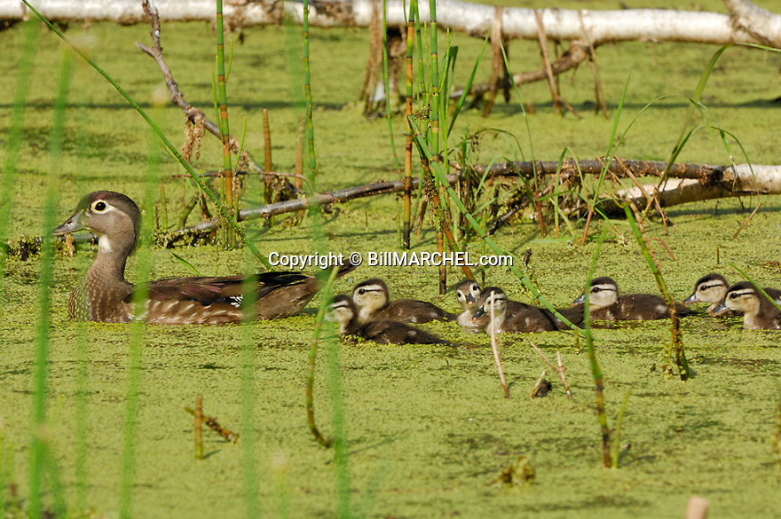00360-087.16 Wood Duck (DIGITAL) hen and brood are on secluded pond containing duck weed.  Hunt, waterfowl, wetland.  H4L1