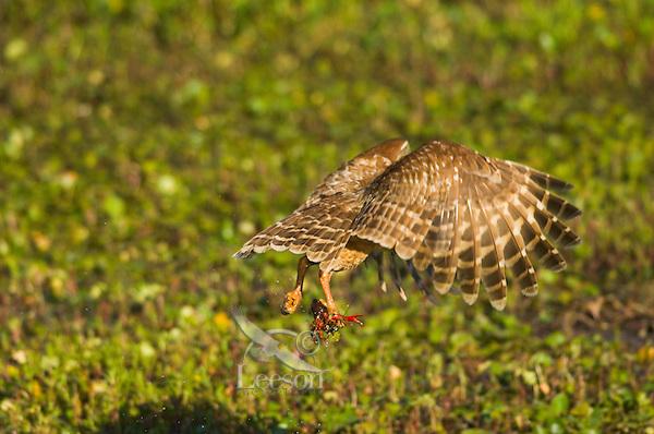 Barred Owl preying on crayfish (crawfish) in southern swamp.  LA.