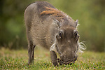 Common Warthog (Phacochoerus africanus) sub-adult grazing, Kruger National Park, South Africa