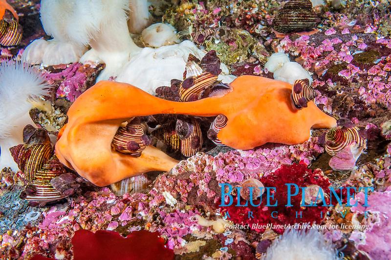 blue top snail, Calliostoma ligatum, feeding on peach ball sponge, Suberites montiniger, Browning Pass, British Columbia, Canada, Pacific Ocean