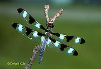 1O05-006a  Skimmer Dragonfly - adult, Twelve Spotted skimmer -  Libellula pulchella