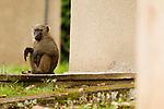 Olive Baboon (Papio anubis) juvenile sitting on porch, Kibale National Park, western Uganda