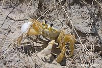 0604-0913  Ghost Crab (Sand Crab) on Beach at Outer Banks in North Carolina, Ocypode quadrata  © David Kuhn/Dwight Kuhn Photography