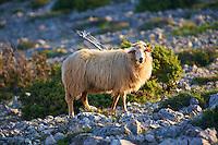Sheep grazing  on the stony hills of  Cres Island, Croatia