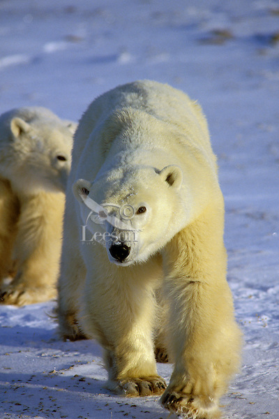 Two Polar Bears approach across frozen tundra.  Northern Canada.