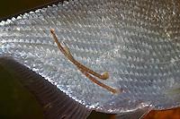 Gemeiner Fischegel, Fisch-Egel mit Haftscheiben an der Fischhaut festgeheftet, saugt Blut an einem Brassen, Parasit, Blutsauger, Fischkrankheit, Piscicola geometra, common fish leech, great tailed leech