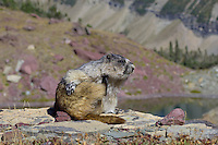 Hoary Marmot (Marmota caligata) scratching.  Glacier National Park (near Logan Pass), Montana.  Sept.