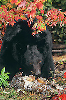 Black Bear in eastern North American forest, fall.