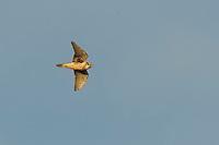 Prairie Falcon, Brownfield, Texas