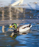 Mallard Drake  and an icy shore line in a marsh in Montana