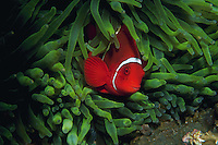 UNderwater view of a Spine-cheek anemone fish. Papua New Guinea.