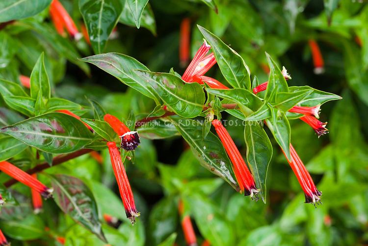 Cuphea ignea Cigar Flower, annual flowers