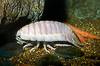 Giant Deep Sea Isopod, Bathynomus giganteus, an important scavenger of the deep sea benthic environment - found in sublittoral zone from 560 feet to tthe bathypelagic zone at 7,000 feet, range: cold, deep water of Atlantic Ocean ( c )