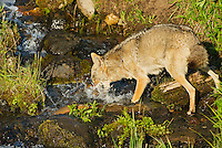 Wild Coyote (Canis latrans) catching cutthroat trout in small stream the trout are migrating up to spawn.  Western U.S., June.