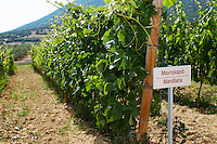 Vines. Mandilaria vine variety. Biblia Chora Winery, Kokkinohori, Kavala, Macedonia, Greece